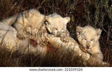 Three new born white lion cubs drink from their mom in this image. South Africa - stock photo