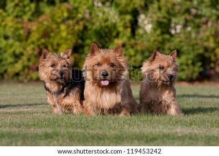 Three nice norwich terrier - stock photo