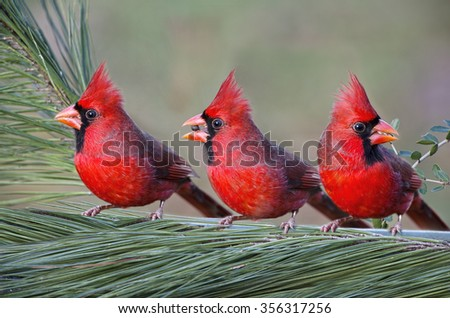 Three Northern Cardinals on Pine Branch - stock photo