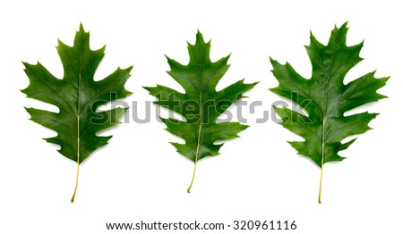 three oak tree leaves isolated on white - stock photo
