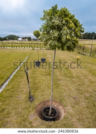 Three oak trees being planted into the ground - stock photo