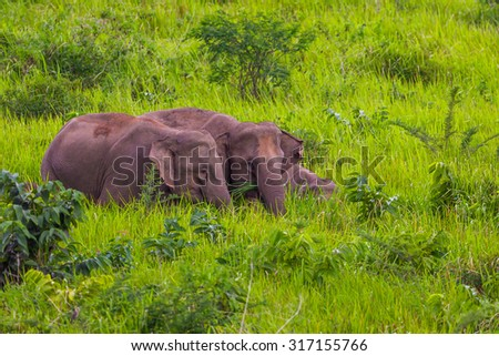 Three of Wild elephants walking in blady grass filed  in real nature at Khao Yai national park,Thailand