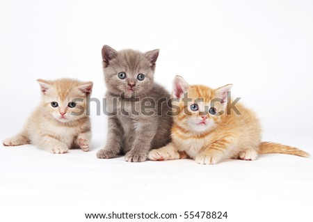 Three One little sitting (lying) purebred british shorthair kittens cat isolated - stock photo