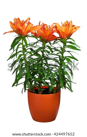 Three orange lilies in flower pot isolated on white background