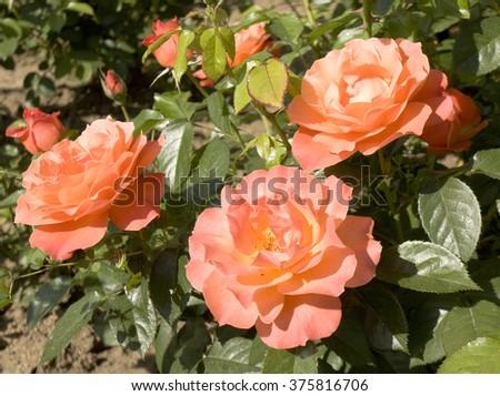 Three orange roses on shrub in garden. - stock photo