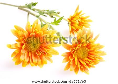 three orange with yellow chrysanthemums isolated on white - stock photo