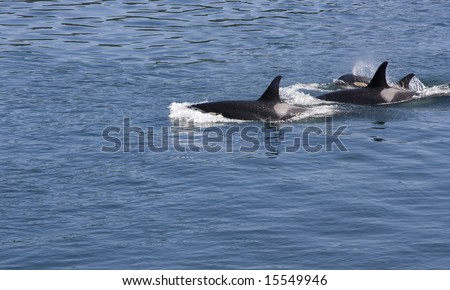 Three orcas, also known as killer whales, of the resident J pod, swim in the blue waters of British Columbia, Canada.