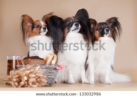 three papillon dogs sitting together - stock photo