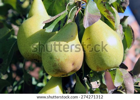 three pears - stock photo