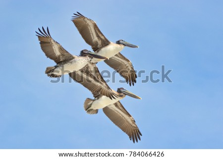 Three pelicans flying overhead with a clear blue sky.