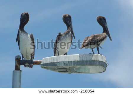 Three pelicans on a light standard - stock photo