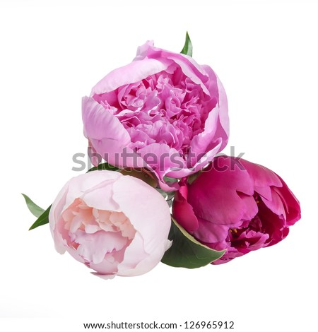 Three peonies flower isolated on white background - stock photo