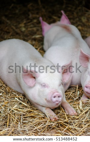 Three pigs swine sleeping resting on the straw in a farm stall