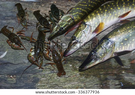 Three pikes and crayfishes - stock photo