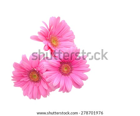 Three pink Gerber flowers isolated on white - stock photo