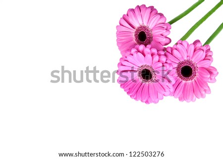 Three pink gerber flowers isolated on white background