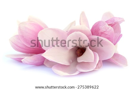 three  pink magnolia flower on white background  - stock photo