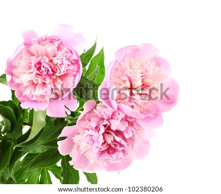 Three pink peonies isolated on white - stock photo