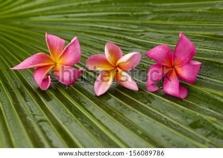 Three pink plumeria and wet palm leaf  - stock photo