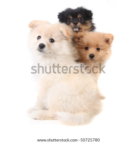 Three Pomeranian Puppies Sitting Together on White Background - stock photo