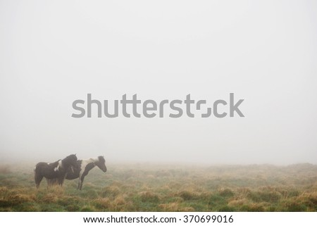 Three ponies in Dartmoor National Park on a foggy day.