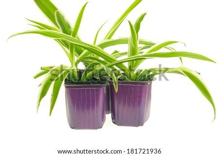 Three pots with seedlings of chlorophytum isolated on white background - stock photo