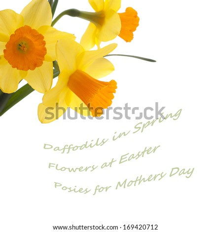 Three Pretty Yellow and Orange Daffodils on Isolated on White Background with blank space or room for copy, text, or your words. - stock photo