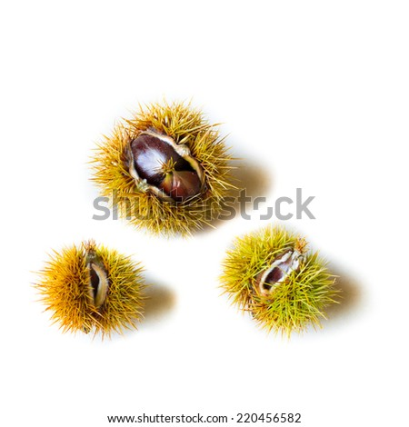 Three prickly chestnuts with open husk on isolated white background. Copy Space - stock photo