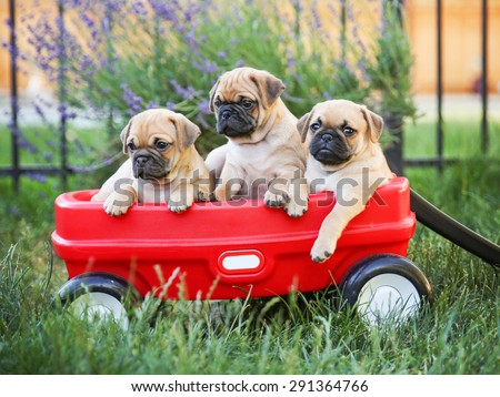 Three  pug chihuahua mix - chug-  puppies  in a red wagon (VERY SHALLOW DOF - on the eyes) - stock photo