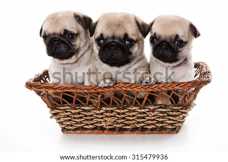 Three pug puppy in a basket (isolated on white) - stock photo