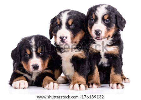 three puppies Bernese Mountain Dog newborn. animal isolated on white background