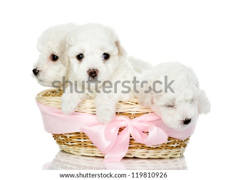 three puppies in a basket. looking at camera, isolated on white background - stock photo
