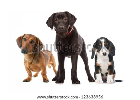 three puppies isolated on the white background - stock photo