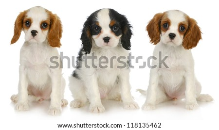 three puppies - litter of cavalier king charles spaniel puppies sitting looking at viewer isolated on white background - stock photo