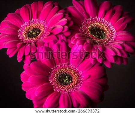 Three purple mini gerbera daisies - stock photo
