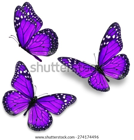 Three purple monarch butterfly isolated on white background - stock photo