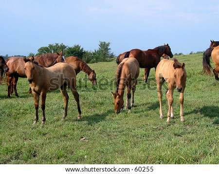 Three quarter horse foals in  a pasture - stock photo