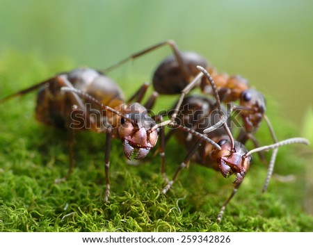 three red ants formica rufa - stock photo