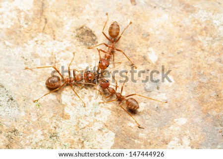 Three red ants help together to catch a prey, teamwork concept - stock photo