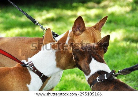 three red basenji dogs sniffing each other in the nose  - stock photo