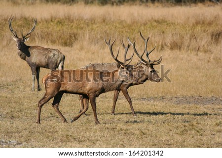 Three red deer males - stock photo