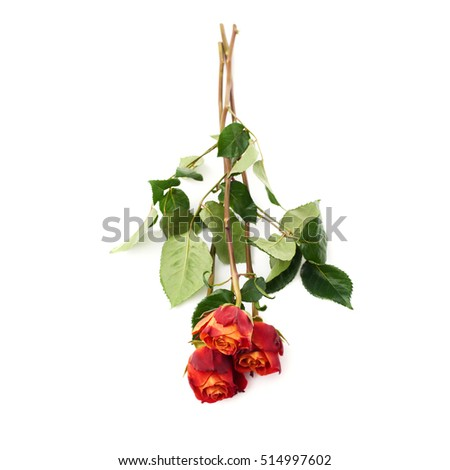 Three red orange roses isolated lying over the white surface