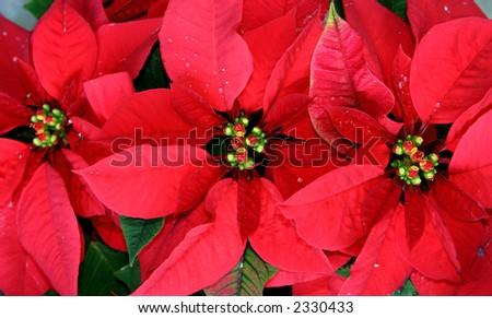 Three red poinsettia plants in medium close-up. - stock photo