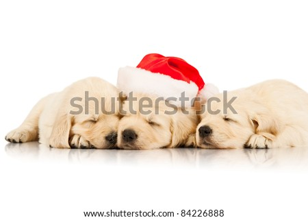 three retriever puppies in a Santa Claus hat - stock photo