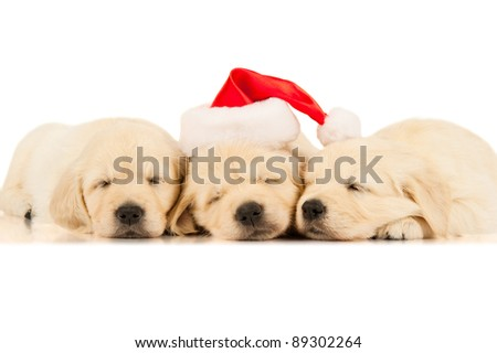 three retriever puppies in a Santa Claus hat
