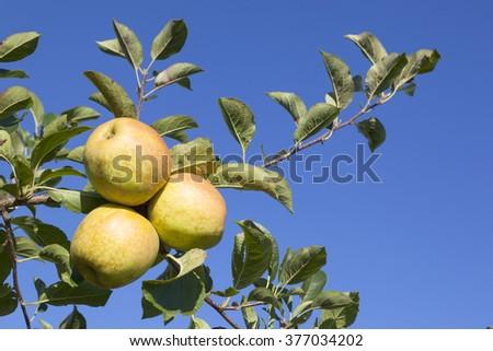 three ripe yellow apples on branch of apple tree in sunlight - stock photo