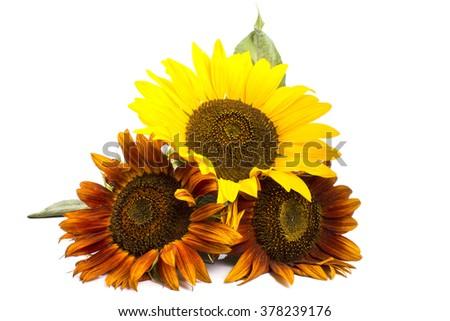 Three romantic colorful sunflowers - stock photo