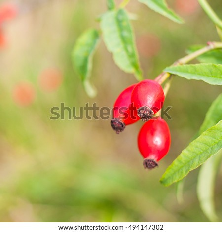 Three rose hips over square blurry autumn natural background.