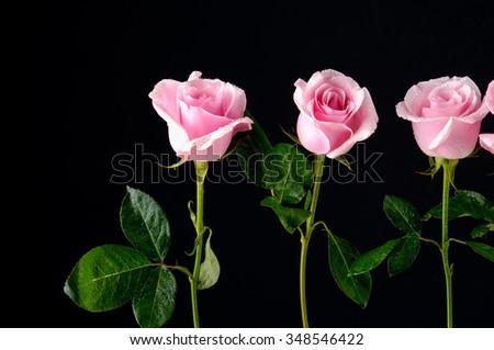 Three rose isolated-black background - stock photo