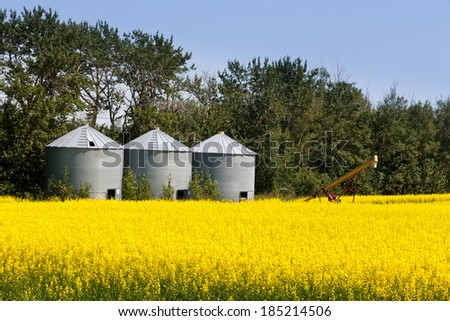 Three round metal silos in agricultural field with a crop of colourful yellow rapeseed canola - stock photo